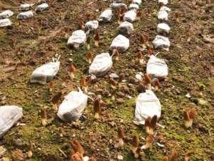 羊肚菌(羊蘑)的种植方法及注意事项介绍!